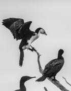 Little Pied Cormorant (Image ID 39965)
