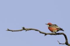 Crimson Chat (Image ID 39812)
