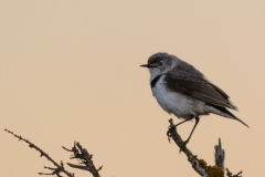 White-fronted Chat (Image ID 40103)
