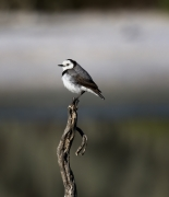 White-fronted Chat (Image ID 40237)