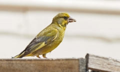 Common Greenfinch (Image ID 40139)