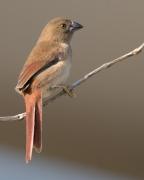 Black-bellied Crimson Finch (Image ID 40548)