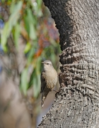 Brown Treecreeper (Image ID 40672)