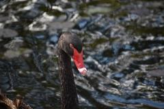 Black Swan (Image ID 40665)