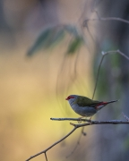 Red-browed Finch (Image ID 40529)