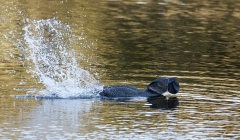 Musk Duck (Image ID 40670)
