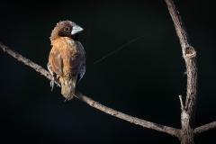 Chestnut-breasted Mannikin (Image ID 40543)