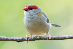 Red-browed Finch (Image ID 40527)