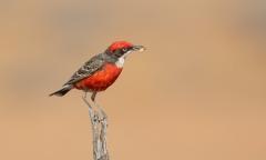 Crimson Chat (Image ID 40509)