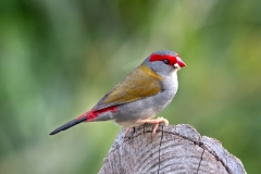 Red-browed Finch (Image ID 40483)