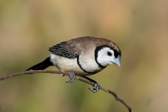 Double-barred Finch (Image ID 40364)