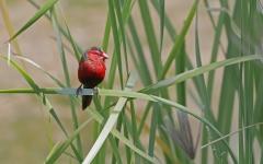 Black-bellied Crimson Finch (Image ID 40304)