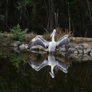 Australian Pelican (Image ID 40647)