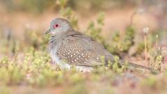 Diamond Dove (Image ID 40651)