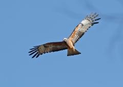 Square-tailed Kite (Image ID 40662)