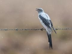 Ground Cuckoo-shrike (Image ID 40613)