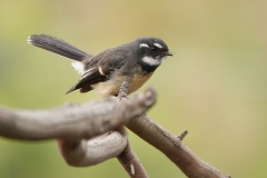Grey Fantail (Image ID 40624)
