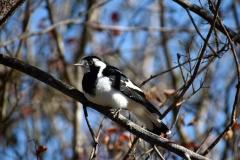Magpie-lark (Image ID 40659)