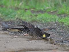 Yellow-tailed Black-Cockatoo (Image ID 40595)