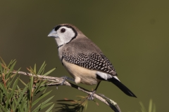 Double-barred Finch (Image ID 40366)
