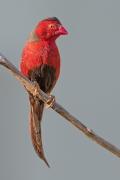 Black-bellied Crimson Finch (Image ID 40549)