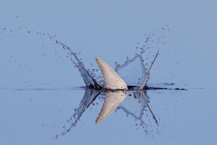 Whiskered Tern (Image ID 40403)