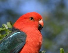 Australian King-Parrot (Image ID 41064)
