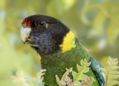Australian Ringneck (Image ID 40883)