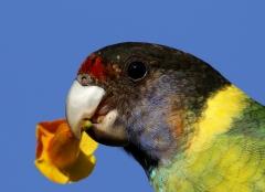 Australian Ringneck (Image ID 40970)