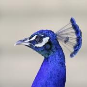 Indian Peafowl (Image ID 40980)