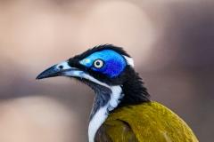 Blue-faced Honeyeater (Image ID 40896)