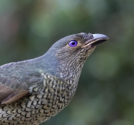 Satin Bowerbird (Image ID 41068)