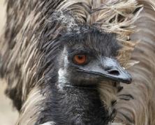 Emu (Image ID 41040)