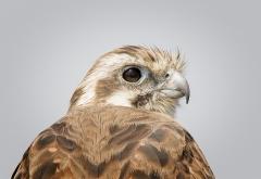 Brown Falcon (Image ID 40862)