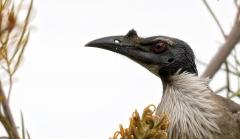 Noisy Friarbird (Image ID 40870)
