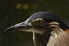 Nankeen Night-Heron (Image ID 40941)