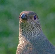 Satin Bowerbird (Image ID 41409)