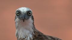 Osprey (Image ID 41417)