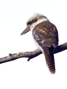 Laughing Kookaburra (Image ID 41117)
