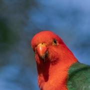 Australian King-Parrot (Image ID 41326)