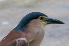 Nankeen Night-Heron (Image ID 41486)