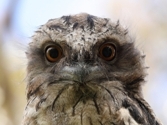 Tawny Frogmouth (Image ID 41267)