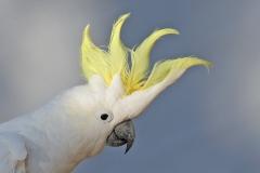 Sulphur-crested Cockatoo (Image ID 41512)