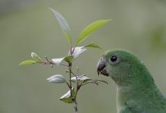 Australian King-Parrot (Image ID 41210)