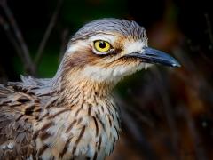 Bush Stone-curlew (Image ID 41176)
