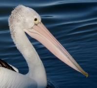 Australian Pelican (Image ID 41464)