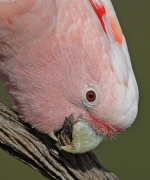 Major Mitchell's Cockatoo (Image ID 41079)