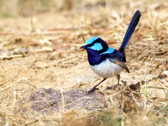 Superb Fairy-wren (Image ID 41121)