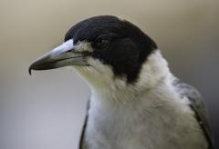 Grey Butcherbird (Image ID 41426)
