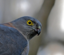 Collared Sparrowhawk (Image ID 41305)